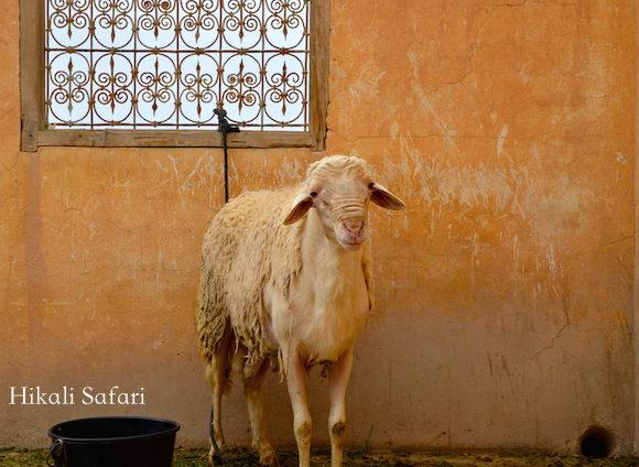 モロッコ、犠牲祭の羊